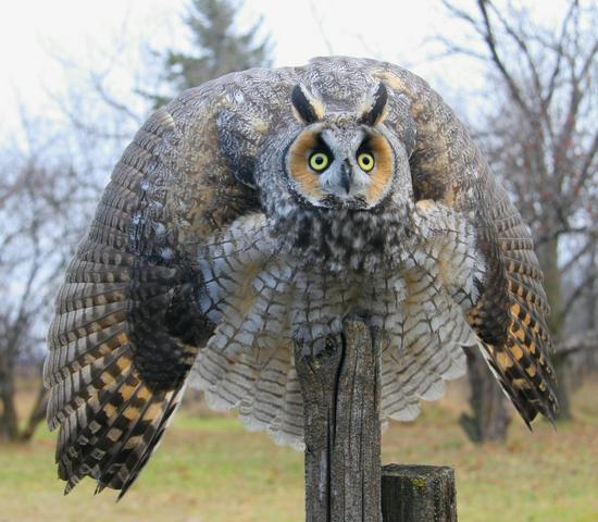 Articles-Owl+Physiology-Behaviour-5