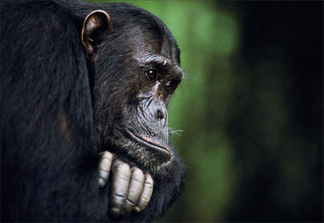Chimp-frodo