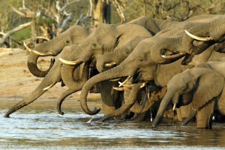 Animals-elephant-herd-drinking-african-safari-botswana-1