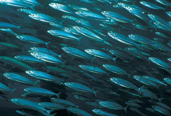 511046-fish