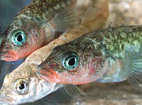 Stickleback_group