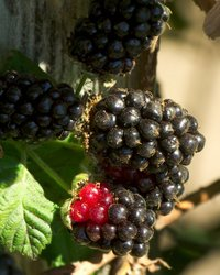 Blackberries4m