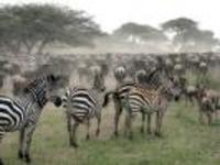 Zebra_and_wildebeest_migration23321