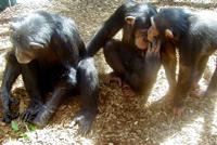 Zz_chimps
